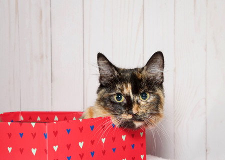 Tortoiseshell kitten laying in a bright pink box with hearts on it looking directly at viewer, peaking over the top of the box. Light wood panel wall background. Valentine's Day theme. 写真素材