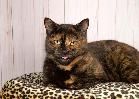 Portrait of a tortoiseshell cat, or tortie, looking at viewer, eyes squinty and tongue sticking out. Laying on a cheetah print bed with wood panel background