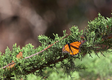 Monarch Butterfly in a pine tree. The monarch butterfly may be the most familiar North American butterfly and an iconic pollinator species. Stock Photo