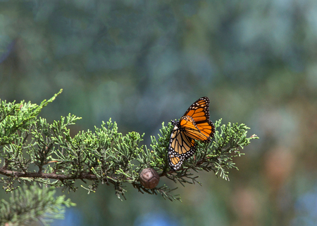 Two Monarch Butterflies in a pine tree, mating. The monarch butterfly may be the most familiar North American butterfly and an iconic pollinator species. Archivio Fotografico