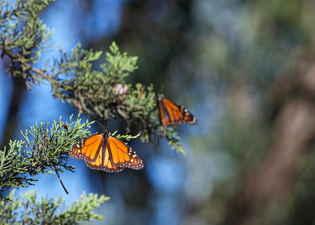 Two Monarch Butterflies in a pine tree. The monarch butterfly may be the most familiar North American butterfly and an iconic pollinator species. Stock Photo