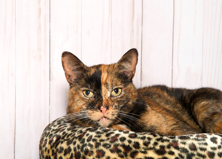 One tortie tabby cat laying on a cheetah patttern bed, light wood background looking directly at viewer. Copy space. 写真素材