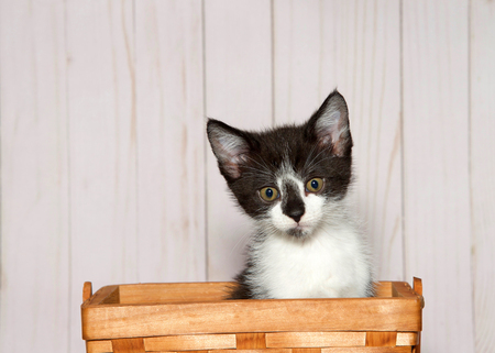 Adorable white kitten with black patches on head sitting in a wood weave basket looking at viewer. Light wood panel wall background with copy space.