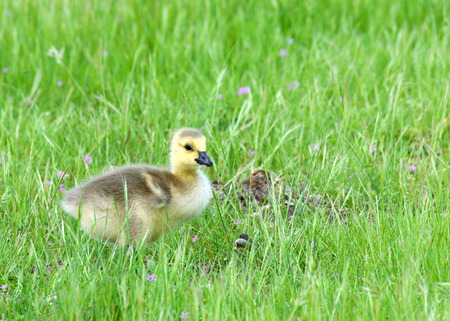 Canada goose goslings eating in green grass. Canada geese frequently establish breeding colonies in urban and cultivated areas, which provide food and few natural predators Stok Fotoğraf