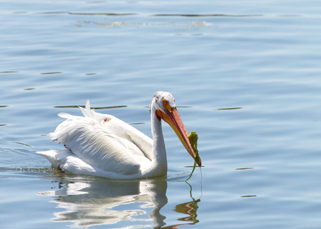 White Pelican swimming in blue water. In breeding season, there is a laterally flattened horn on the upper bill, which has algae stuck on it. The horn is shed after the birds have mated and laid eggs. Imagens