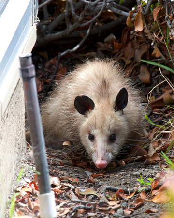 small opossum stranded in a neighborhood, hiding behind bushes. Their flexible diet, reproductive habits make them successful colonizers and survivors in diverse locations and conditions