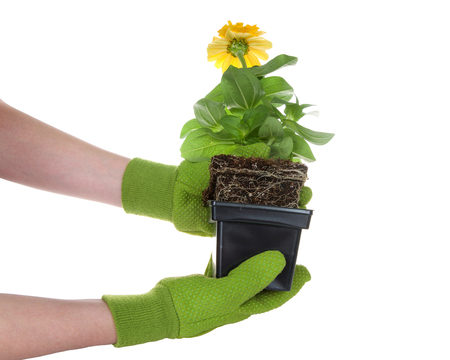 gloved hands holding potted marigold flower rootbound isolated on white. Root bound refers to plants roots growing round and round the pot, which halts growth. They need to be transplanted for health