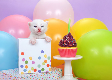 Tiny white kitten with blue eyes peaking out of a polka dot birthday present next to a purple frosted cup cake with sprinkles and a candle, balloons in background with purple wall.