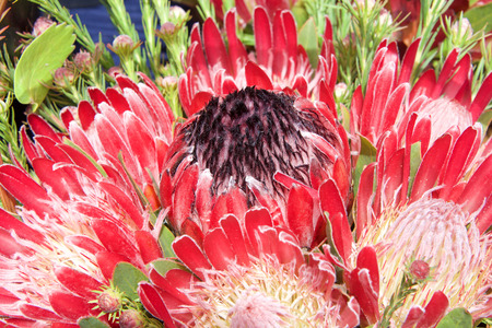 pink Australian sugar bush protea flower, close up with leaves and other flowers in background. Proteas are currently cultivated in over 20 countries. The flower is said to represent change and hope. Фото со стока