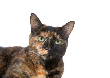 Portrait of a tortie torbie tabby cat with green eyes isolated on white background. Looking directly at viewer Reklamní fotografie - 116310913