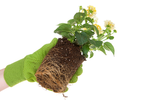 Gloved hand holding potted yellow lantana flower plant, rootbound. Root bound refers to plants roots growing round and round the pot, which halts growth. They need to be transplanted for health 写真素材