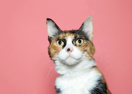 Close up portrait of a surprised calico cat looking at viewer. Pink background with copy space.
