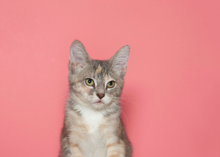 Close up portrait of a diluted calico kitten looking forward to viewers right. Pink background with copy space. Stock fotó