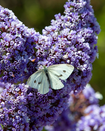 Cabbage White butterfly on purple Ceanothus Concha flowers on a sunny spring day.