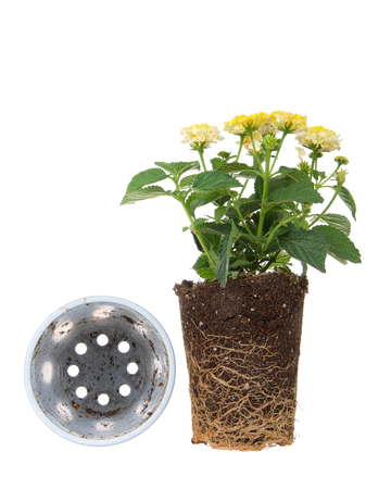 Yellow lantana flower plant, rootbound, isolated on white  next to overturned pot. Root bound refers to plants roots growing round and round the pot, which halts growth. They need to be transplanted f