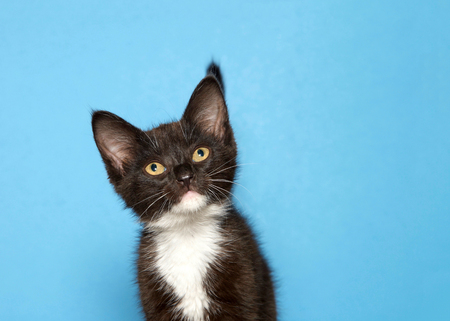 Close up portrait of an adorable tuxedo black and white kitten on blue background, looking forward slightly to viewers left with copy space.