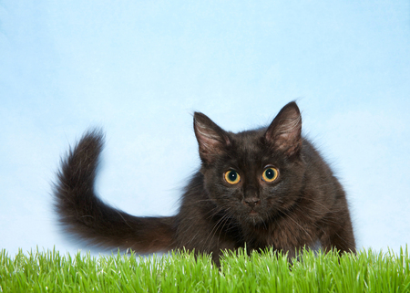 Adorable black kitten with bright yellow eyes crouched down in green grass, blue background. Tail curled off to side. Copy space. Banque d'images - 116310932