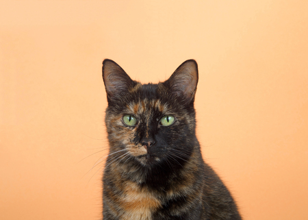 Portrait of one tortie torbie tabby cat on an orange background. Looking directly at viewer with surprised expression. Copy space.