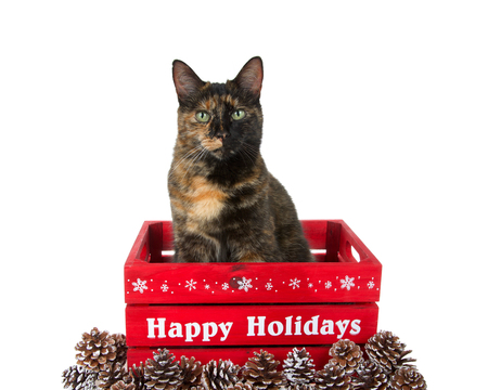 One tortoiseshell cat sitting in a red wood crate looking directly at viewer. Happy Holidays printed in white on the side, surrounded by snow frosted pine cones. Isolated on white background.