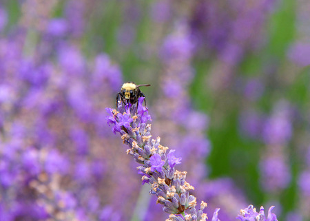 Bumble bee collecting pollen from french lavender flowers, facing forwards. Bumblebees have round bodies covered in soft hair called pile, making them appear and feel fuzzy. Фото со стока