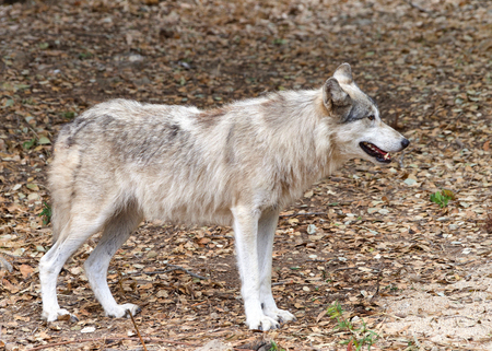 Young adult wolf standing on brown dry leaves looking to viewers right. Profile view.