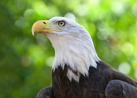 Close up portrait of a Bald Eagle, head and shoulders. Green trees OOF in background. The bald eagle is both the national bird and national animal of the United States of America.