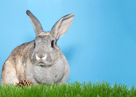 Adorable gray and brown bunny sitting in green grass looking to viewers left, pine cone on grass, blue background with copy space. Stock Photo