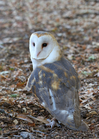 One barn owl, also referred to as the common barn owl, standing on fallen dry brown leaves outside. The barn owl is nocturnal over most of its range, but in some regions, it also hunts by day.