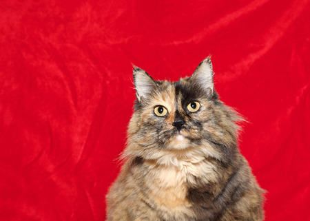 Portrait of one very obese long haired tortoiseshell cat looking directly at viewer, red velvet holiday theme background with copy space. Stock Photo