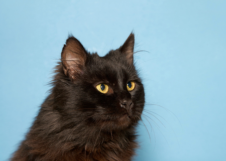Portrait of one long haired black cat with bright yellow eyes looking to viewers right, blue background. Stock fotó