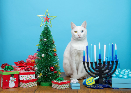 Adorable white kitten with heterochromia (odd eyes) sitting between a Christmas tree and a Hanukkah Menorah looking at viewer. Many multi faith families celebrate both Xmas and Hanukkah. Merry Chrismukkah.