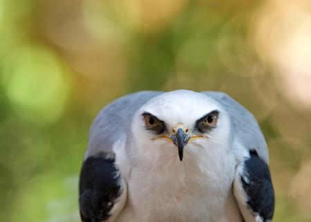 Nahaufnahme eines Weißschwanzdrachen, der aufmerksam auf den Betrachter starrt. Der Weißschwanzmilan ist ein kleiner Greifvogel, der im westlichen Nordamerika und in Teilen Südamerikas vorkommt