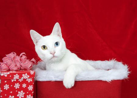 Close up portrait of an adorable white kitten with heterochromia (odd-eyed) sitting in a christmas basket lined with white fur looking at viewer. One paw over the box, Xmas present to one side.