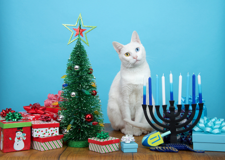 Adorable white kitten with heterochromia (odd eyes) sitting between a Christmas tree and a Hanukkah Menorah, head tilted. Many multi faith families celebrate both Xmas and Hanukkah. Merry Chrismukkah.
