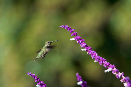 One Annas hummingbird  in flight hovering in purple Mexican Sage flower bushes. These birds feed on nectar from flowers using a long extendable tongue. 스톡 콘텐츠