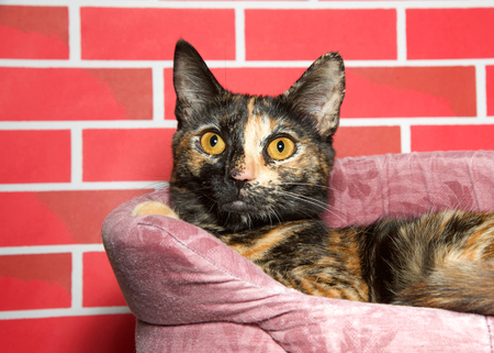 Portrait of a young tortoiseshell kitten laying in a pet bed looking at viewer slightly to the left of viewer. Red brick wall background for the Christmas holidays. Stock Photo
