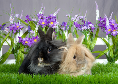 One small brown long hair bunny sitting next o one small black long haired bunny, laying in green grass in front of a white picket fence with purple flowers by a gray wall Imagens