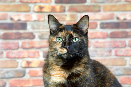 Portrait of a Tortoiseshell Tortie cat by brick wall looking directly at viewer. Tortoiseshell cats with the tabby pattern as one of their colors are sometimes referred to as a torbie. 写真素材