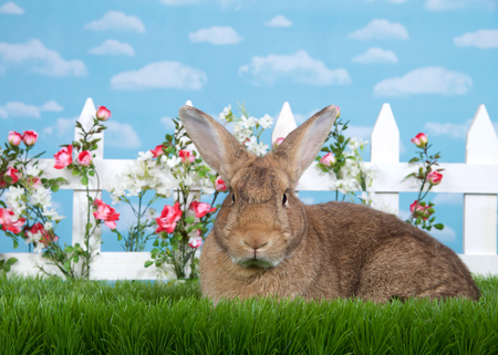 brown rabbit sitting in green grass, sideways facing viewers left but looking at viewer. White picket fence with small pink roses. Blue background sky with clouds. Copy space. Imagens