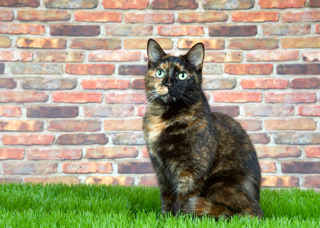 Tortoiseshell Tortie cat laying on grass by brick wall, looking at viewer. Tortoiseshell cats with the tabby pattern as one of their colors are sometimes referred to as a torbie.