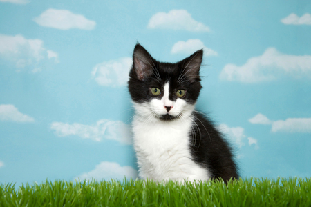 Black and white medium haired kitten sitting in long grass, blue sky background sky with clouds. Copy space