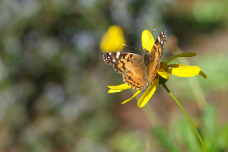 Vanessa cardui is a well-known colorful butterfly, known as the painted lady, or in North America as the cosmopolitan on yellow daisy flowers