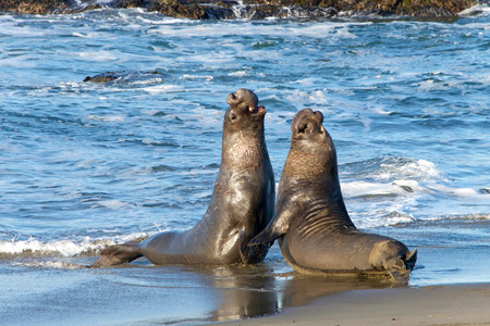 Two male bull elephant seals fighting on the beach in Central California. The bulls engage in fights of supremacy to determine who will get to mate with the females. Stock Photo
