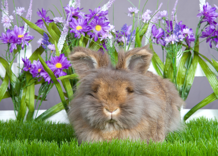 Small brown angora bunny laying in green grass in front of a white picket fence with purple flowers by a gray wall. Can not see her eyes for all the fur.