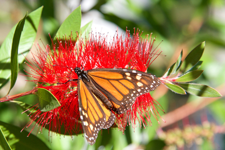 Monarch butterfly on yellow bottle brush flower, the monarch butterfly is possibly the most familiar North American butterfly, and is considered an iconic pollinator species. Stock Photo