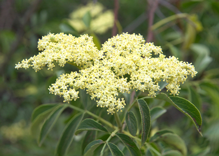 Close up on a cluster of Cornus drummondii flowers, commonly known as the roughleaf dogwood, is a small deciduous tree that is native primarily to the Great Plains and Midwestern regions of the U.S.
