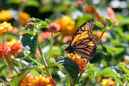 One Monarch butterfly perched on yellow and orange lantana flowers drinking nectar. The monarch butterfly may be the most familiar North American butterfly, and is an iconic pollinator species.