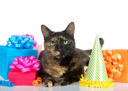 Close up of one Tortie Torbie Tabby cat laying down on a reflective table surrounded by bright colorful birthday presents and a party hat isolated on a white background looking directly at viewer.