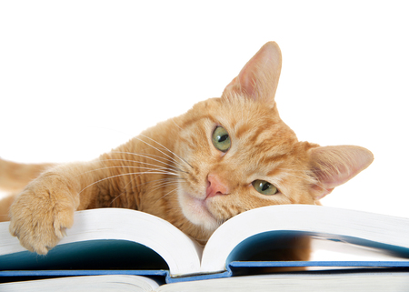 close up of one orange ginger tabby cat laying on a large book with one paw over the edge holding the pages, looking directly at viewer. Face on book. Stock Photo