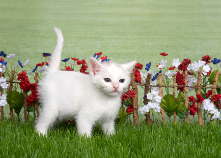 small short hair white kitten with blue eyes standing in green grass in front of stick fence with red, white, blue flowers, green grassy field in background. Looking slightly to viewers right Stock fotó